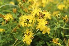 Flores amarillas del ordinario del Hypericum en el verano en el pueblo fotografía de archivo