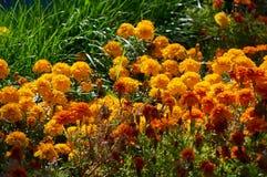 Flores amarillas del otoño en la hierba imagen de archivo