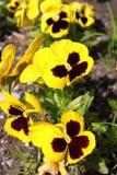 Flores amarillas del pensamiento Fotografía de archivo