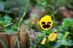 Flores amarillas del pensamiento Imagen de archivo libre de regalías