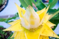 Flores amarillas del plátano Imágenes de archivo libres de regalías