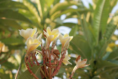 Flores amarillas del Plumeria Fotos de archivo libres de regalías