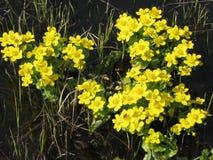 Flores amarillas del prado de la primavera Foto de archivo