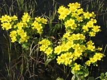 Flores amarillas del prado de la primavera Fotografía de archivo