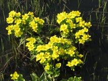 Flores amarillas del prado de la primavera Foto de archivo libre de regalías