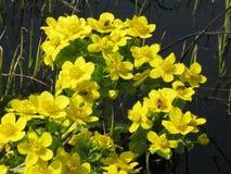 Flores amarillas del prado de la primavera Imagenes de archivo