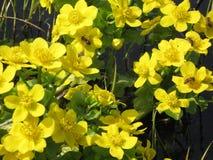Flores amarillas del prado de la primavera Fotos de archivo