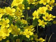 Flores amarillas del prado de la primavera Fotos de archivo libres de regalías