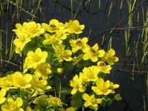Flores amarillas del prado de la primavera Imagen de archivo libre de regalías