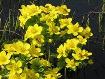 Flores amarillas del prado de la primavera Imagen de archivo