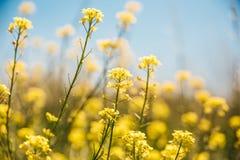 Flores amarillas del prado Fondo del cielo azul Imágenes de archivo libres de regalías