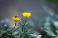 Flores amarillas del ranúnculo en un fondo borroso en un ingenio del prado Foto de archivo