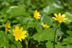 Flores amarillas del ranúnculo en un fondo verde Foto de archivo libre de regalías