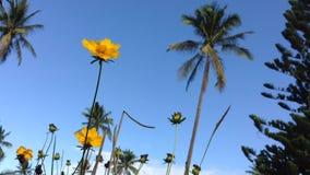 Flores amarillas del ranúnculo que agitan