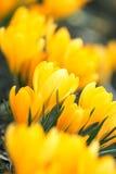 Flores amarillas del resorte Imágenes de archivo libres de regalías