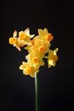 Flores amarillas del resorte Fotografía de archivo