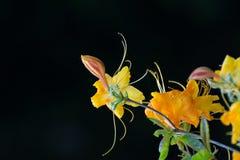 Flores amarillas del rododendro Foto de archivo