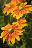 Flores amarillas del Rudbeckia que florecen en el verano imagenes de archivo