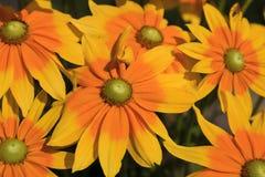 Flores amarillas del Rudbeckia que florecen en el verano fotos de archivo