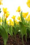 Flores amarillas del tulipán Fotos de archivo