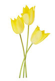 Flores amarillas del tulipán Fotos de archivo libres de regalías