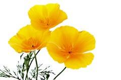 Flores amarillas del verano Fotografía de archivo
