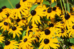 Flores amarillas del zinnia Foto de archivo