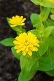 Flores amarillas del Zinnia. Fotografía de archivo