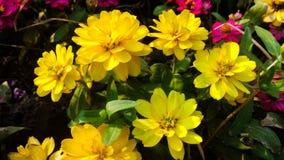 Flores amarillas del zinnia Fotografía de archivo