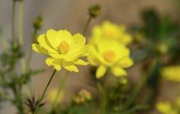 Flores amarillas del zinnia del brillo Imagen de archivo libre de regalías