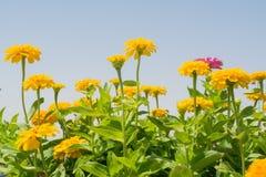 Flores amarillas del zinnia en el jardín Fotos de archivo