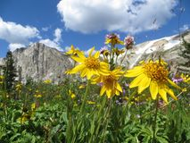 Flores amarillas delante del paisaje de la montaña Fotografía de archivo