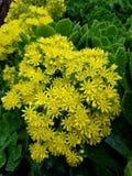 Flores amarillas después de la relajación 4k de la lluvia Foto de archivo