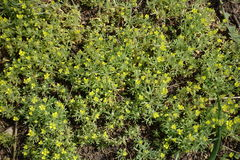 Flores amarillas embotadas del butterwort curveseed Imagenes de archivo