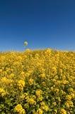 Flores amarillas en campo fotografía de archivo libre de regalías