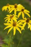 Flores amarillas en campo Fotografía de archivo