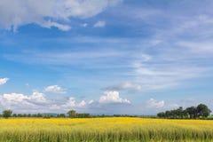 Flores amarillas en campo con el cielo azul y las nubes Fotos de archivo
