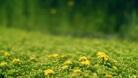 Flores amarillas en campo verde La abeja recoge el néctar en campo de flores almacen de metraje de vídeo