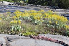 Flores amarillas en el afloramiento 2 del granito Imagen de archivo libre de regalías