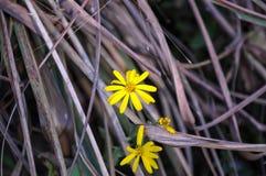 Flores amarillas en el arbusto de Brown fotografía de archivo