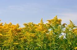 Flores amarillas en el cielo Imagenes de archivo