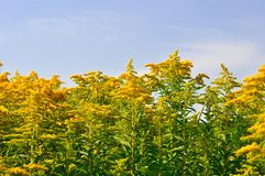 Flores amarillas en el cielo Fotos de archivo libres de regalías