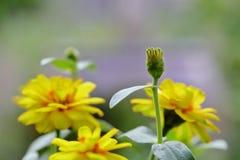 Flores amarillas en el jardín imagen de archivo