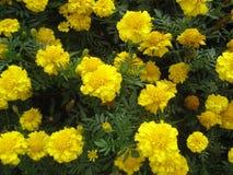Flores amarillas en el jardín foto de archivo