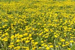 Flores amarillas en el prado Imagen de archivo