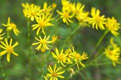 Flores amarillas en el prado Fotos de archivo