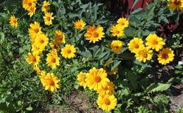 Flores amarillas en el sol Imágenes de archivo libres de regalías