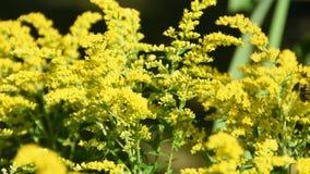 Flores amarillas en el sol con las abejas y otros insectos almacen de video