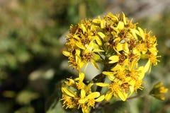 Flores amarillas en el valle de Archa-kanysh, Pamir-alay, Fotografía de archivo