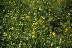 Flores amarillas en granja con el fondo verde fotografía de archivo